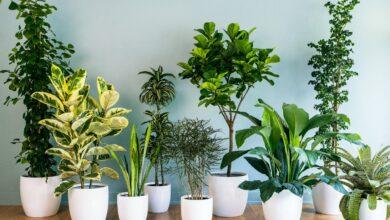 نباتات لتنقية الهواء